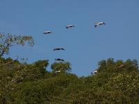 Pelícanos sobrevolando el Manglar - Estero Rico