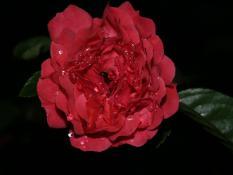 Rosa en el Jardín de mi Mamá